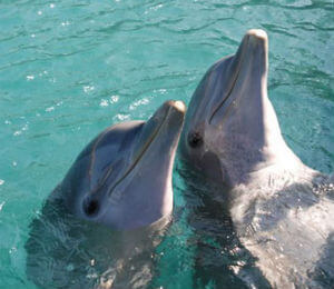 Bahamas Dolphin Facts
