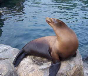 Bahamas Sea Lion Facts