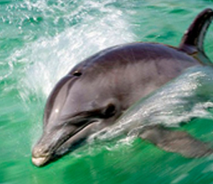 The Important Role of the Dolphin