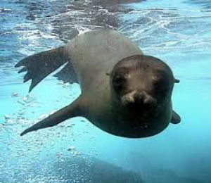 Sea Lions: Dogs of the Sea