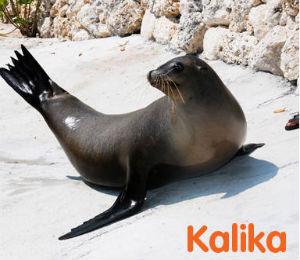 Kalika the Sea Lion
